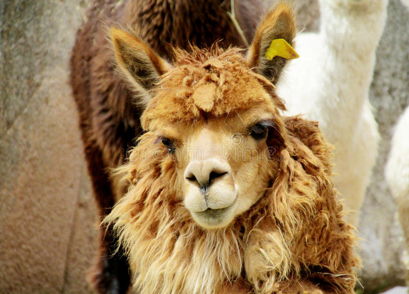 Cute furry brown alpaca portrait. The llama, Lama glama domesticated South American camelid animals on the green meadow in the Andes mountains. Cute furry alpaca royalty free stock images
