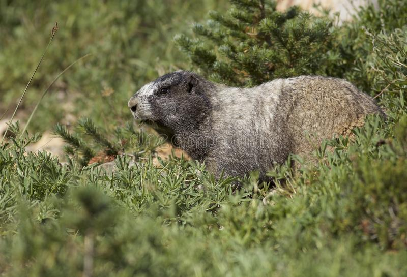 Hoary Marmot on Mt Rainier stock images
