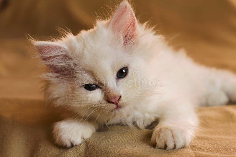Cute little white kitten laying down stock photos