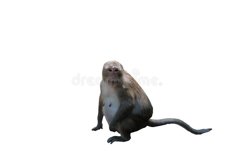 A cute furry monkey sits. Pregnant monkey. The nipples of the monkey. Animals of Southeast Asia. White background. Isolated royalty free stock photos