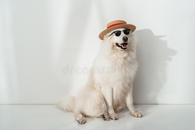 cute furry samoyed dog in straw hat and sunglasses sitting royalty free stock photo