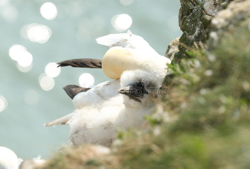 A cute Gannet chick, Morus bassanus, sitting on its nest on a ledge on a cliff in Yorkshire, UK. The parent bird can be seen sitti royalty free stock image