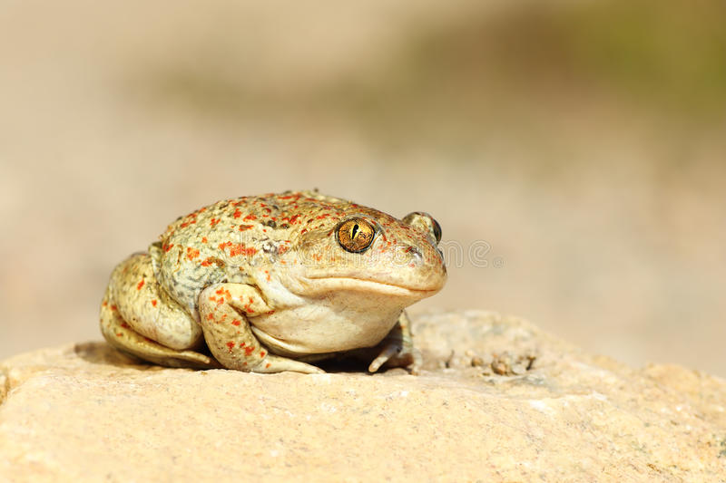 Cute garlic toad standing on the ground. & x28; Pelobates fuscus & x29 royalty free stock images