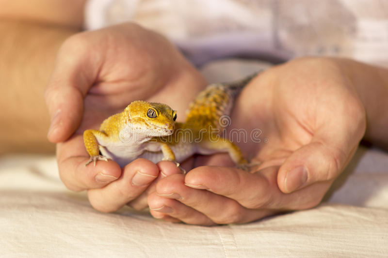 Cute gecko heating in hands royalty free stock photography