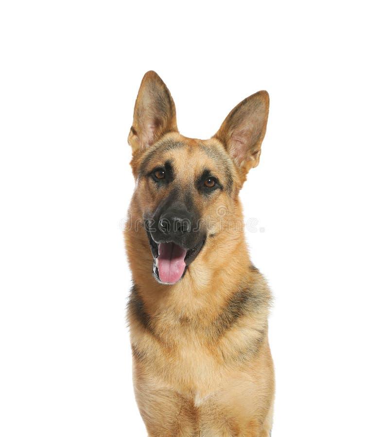 Cute German shepherd dog on white background stock photo