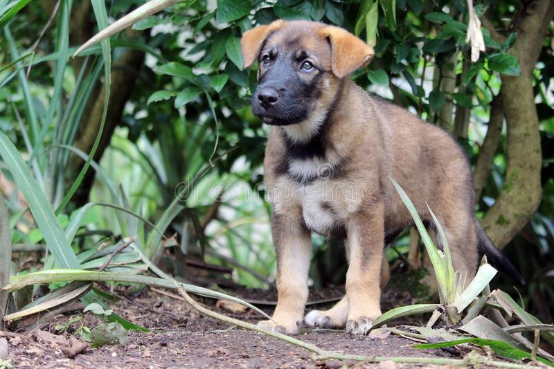 Puppy in garden. A cute German shepherd mixed breed puppy stands and looks forward intently stock image