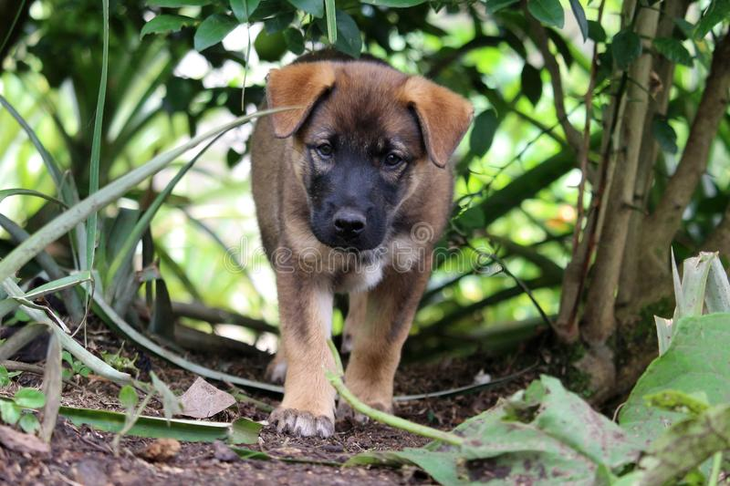 Brown puppy in garden. A cute German shepherd mixed-breed puppy walks forward and watches intently royalty free stock photos