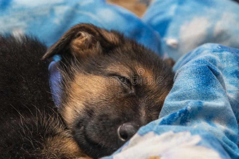 Cute German shepherd puppy in the house. Exploring the world stock photos