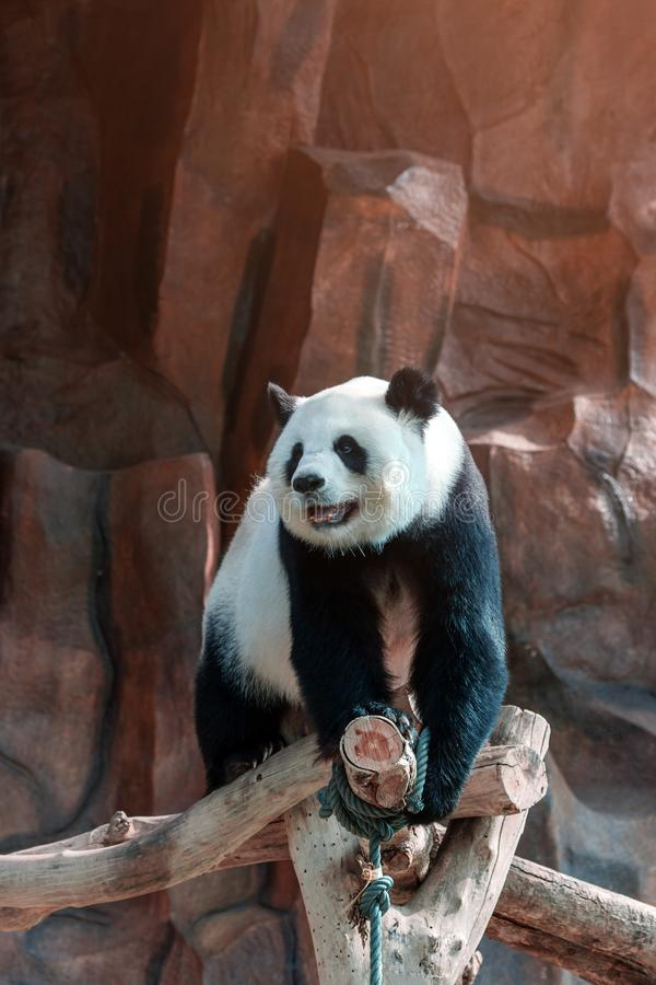 Cute giant panda or Ailuropoda melanoleuca enjoy playing at the zoo. Adorable big bear with beautiful fur. Endangered wild animal,. Native in China. National royalty free stock photography