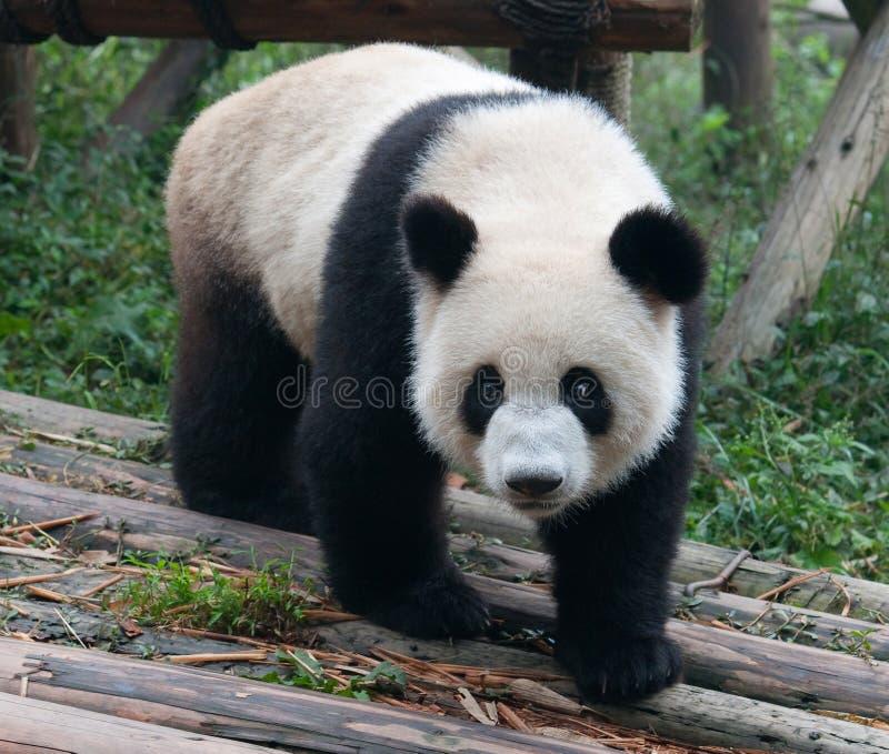 Cute giant panda bear stock photography