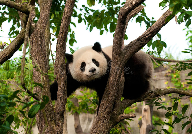 Cute giant panda bear climbing a tree royalty free stock photo