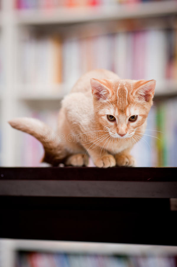 Download Cute ginger cat stock image. Image of domesticated, residence - 21562165