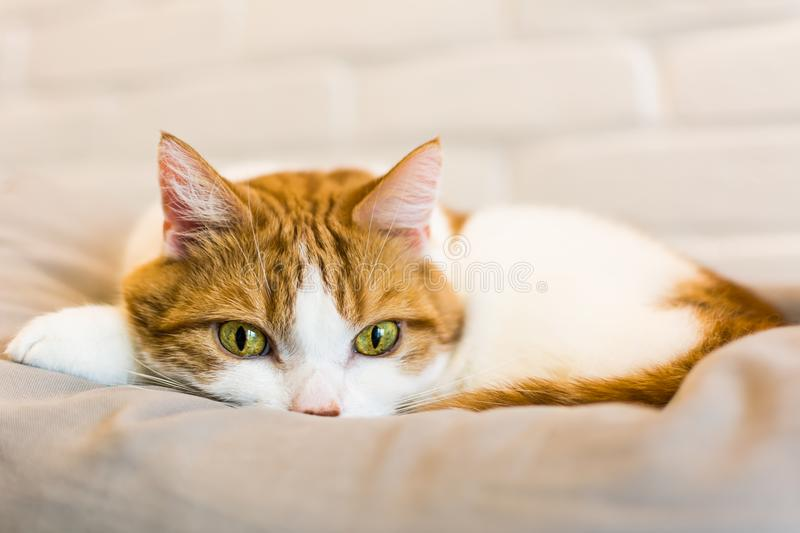 Cute ginger cat lying on gray pillow royalty free stock image