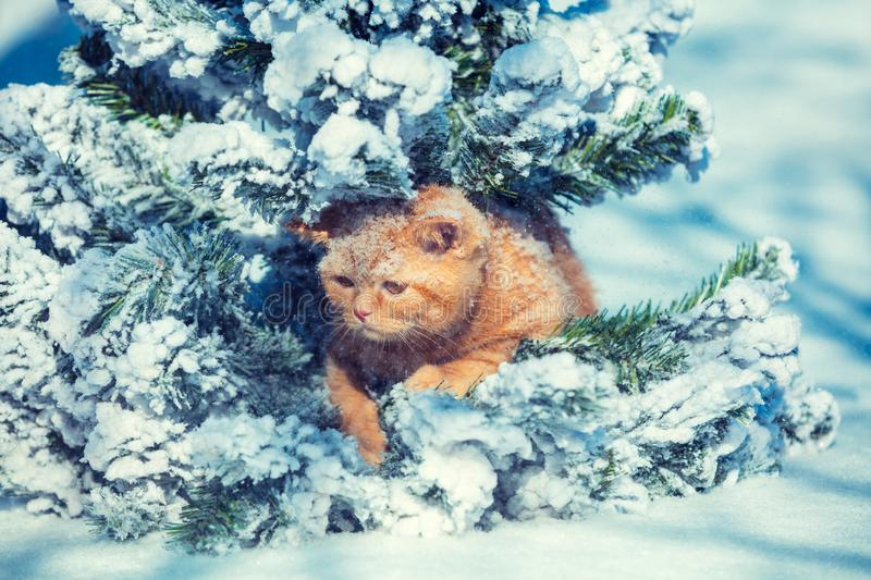 Cute ginger kitten sitting on the fir tree in winter royalty free stock images