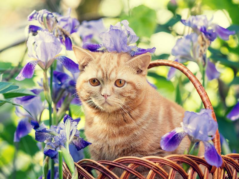 Cute kitten sitting in iris flowers stock photos