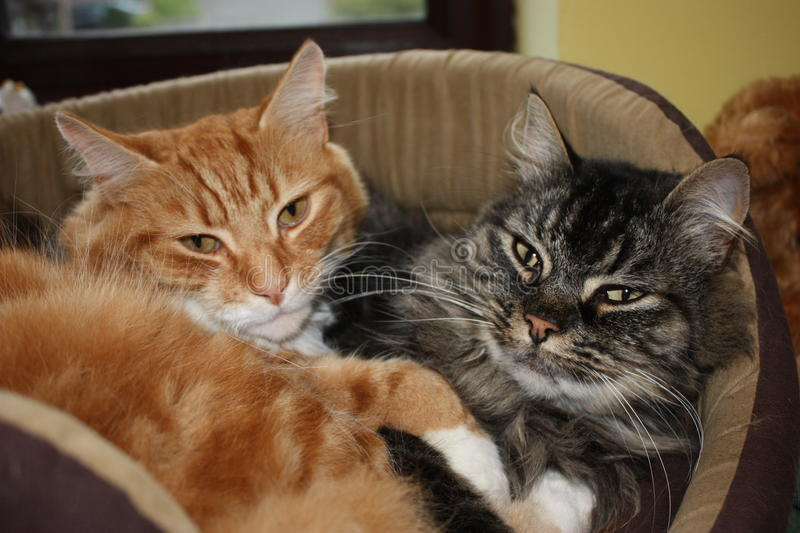 Cute ginger and tabby domestic cats together royalty free stock image