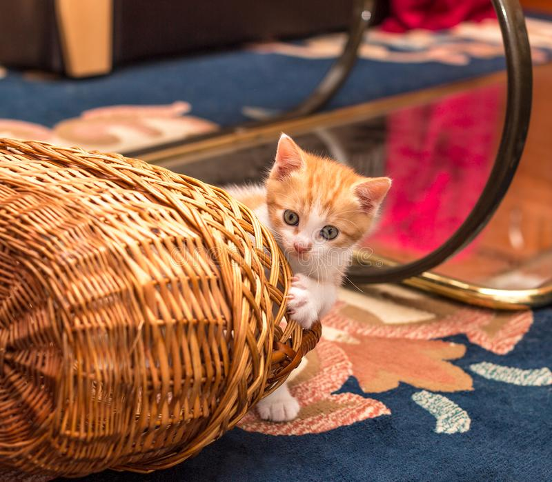 Cute ginger-white kitten looks out from behind the basket. Little cat playing with basket on carpet. In the room royalty free stock image