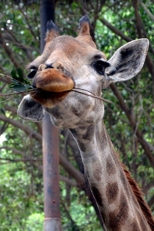 Cute giraffe stock photos