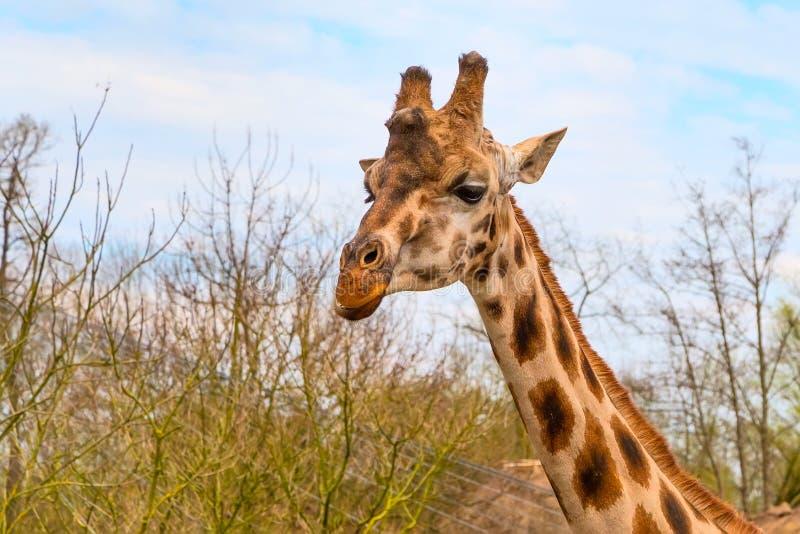 Cute giraffe head with curious look. Nice cute Giraffe head close up and blue sky stock image