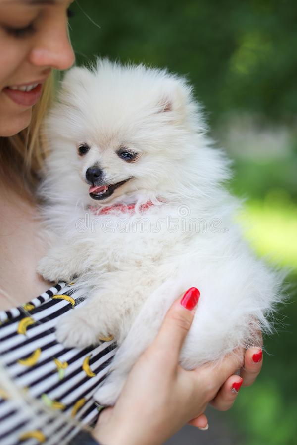 Cute girl with blond hair holds small breed dog in her arms and rejoices in the animal. Small white dog. Pomeranian stock image