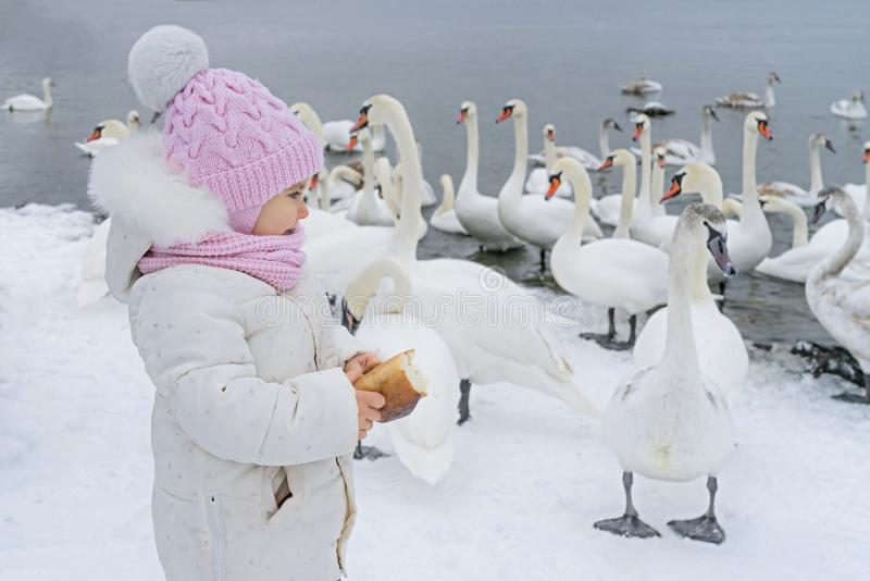 Cute girl child feeds swan. Baby with bread in hand at swans lake in winter.  stock photography