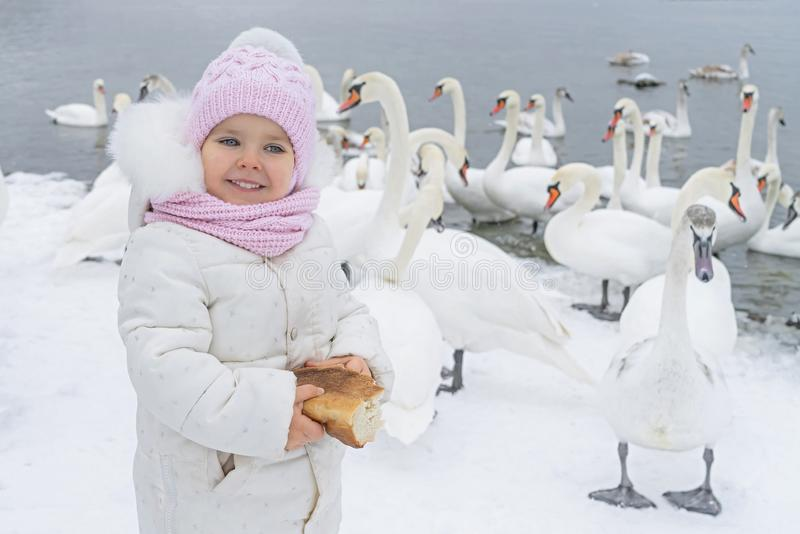 Cute girl child feeds swan. Baby with bread in hand at swans lake in winter.  royalty free stock images