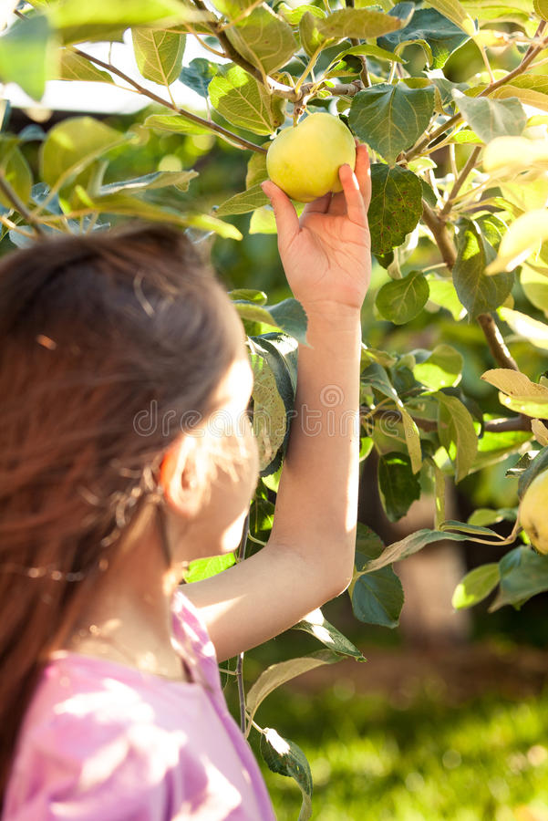 Cute girl picking green apple from tree at garden royalty free stock photography
