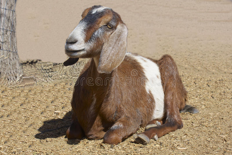 Cute Goat Bedded royalty free stock image