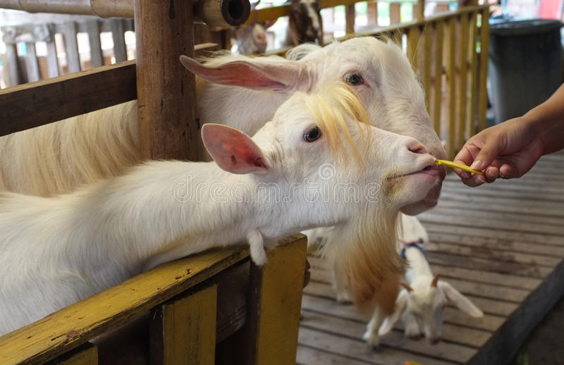 Cute goat kid in farm , concept farm , animal , travel Thailand stock photography