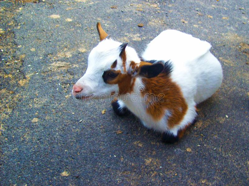 Cute goat is relaxing. Cute holland pygmy goat is laying on the way and relaxing with smile stock photography