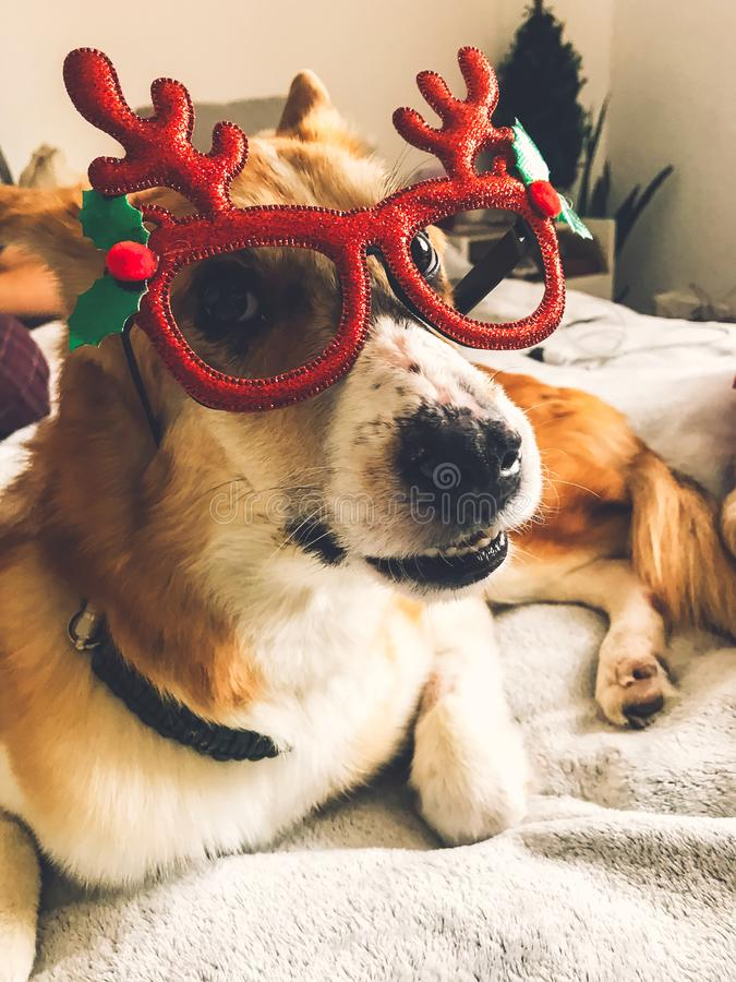 Free Cute Golden Dog In Christmas Festive Glasses Lying On Owner Bed  In Stylish Room. Happy Holidays. Festive Pets. Funny Dog In Royalty Free Stock Photo - 162512315