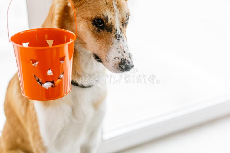 Cute golden dog and jack lantern bucket with candy, copy space. Trick or treat concept. Happy Halloween. Funny puppy with adorable. Look at halloween party royalty free stock image