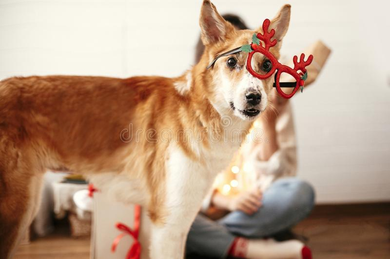 Cute golden dog looking with funny emotions in festive reindeer glasses with antlers on background of smiling girl in christmas. Lights in room. Merry Christmas royalty free stock images