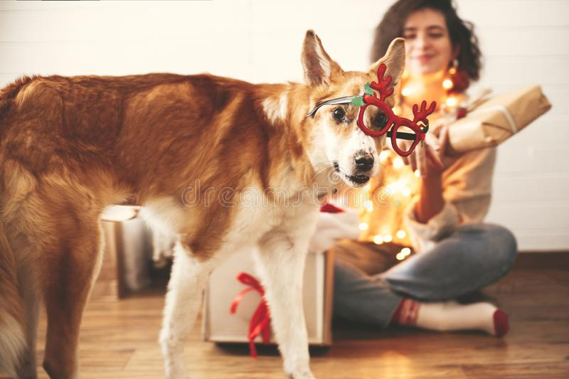 Cute golden dog looking with funny emotions in festive reindeer glasses with antlers on background of smiling girl in christmas. Lights in room. Merry Christmas stock images