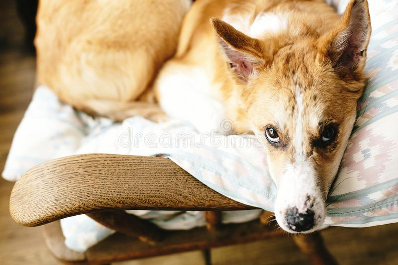 Cute golden dog resting in wooden chair at home. Doggy sleeping on cozy blanket in chair, funny moment. Comfortable place. stock photo