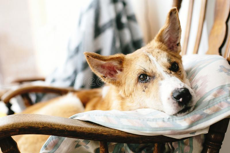 Cute golden dog resting in wooden chair at home. Doggy sleeping on cozy blanket in chair, funny moment. Comfortable place. royalty free stock photography