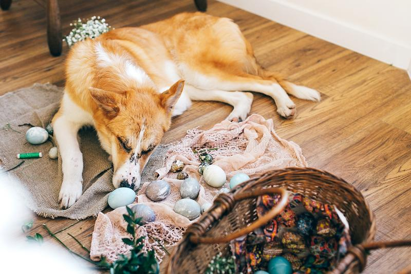 Cute golden dog sleeping at stylish easter eggs, wicker basket with holiday food, flowers on rustic wooden background in light. stock photography