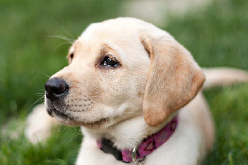 Cute Golden Labrador Puppy in the Grass stock image