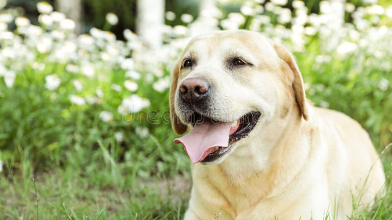 Cute Golden Labrador Retriever near flowers in summer park stock photo