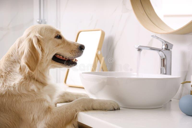Cute Golden Labrador Retriever near sink stock photo