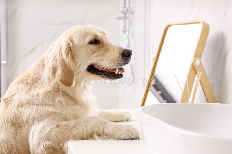 Cute Golden Labrador Retriever near sink royalty free stock image