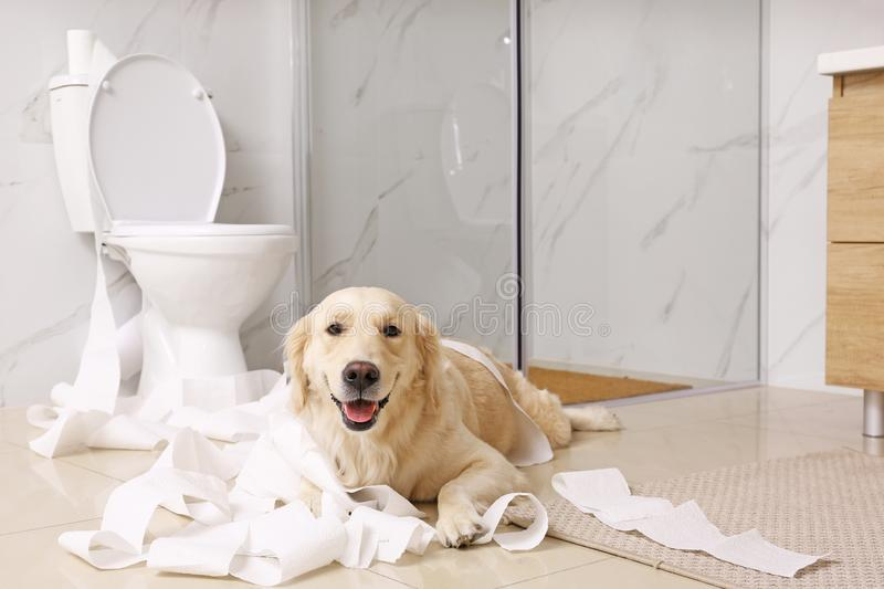 Cute Golden Labrador Retriever playing with toilet paper. In bathroom royalty free stock photo