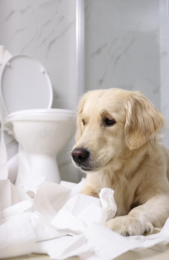 Cute Golden Labrador Retriever playing with toilet paper. In bathroom stock photography