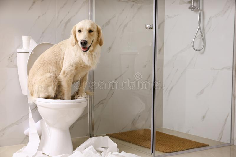 Cute Golden Labrador Retriever sitting on toilet bowl in bathroom. Space for text royalty free stock photo