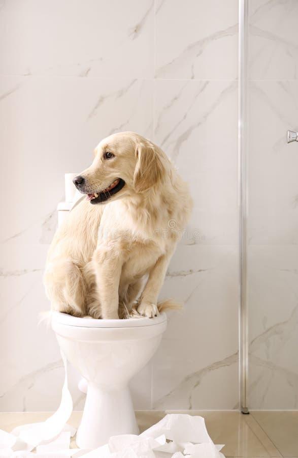 Cute Golden Labrador Retriever sitting on toilet bowl. In bathroom stock images