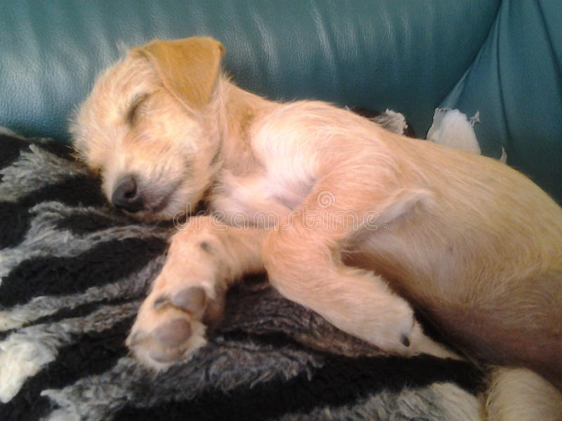 Cute golden pappie dog relax sleeping couch sweet dreams stock images