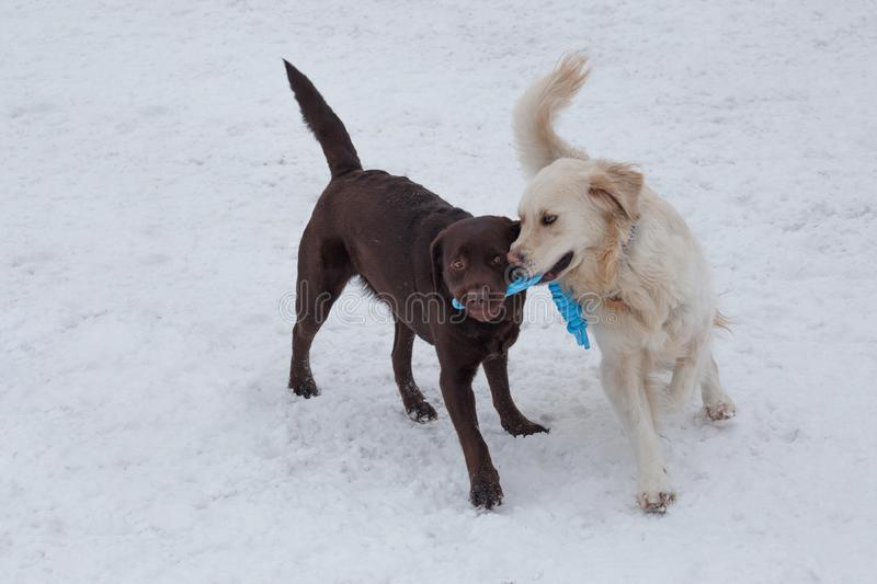 Cute golden retriever and chocolate labrador are playing on a white snow with his toy. Pet animals. Purebred dog royalty free stock images