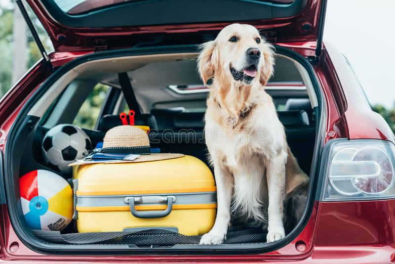 Cute golden retriever dog sitting in car trunk with luggage. For trip stock image