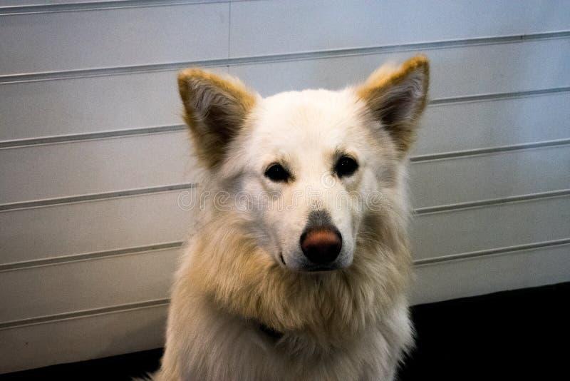 A cute, golden retriever or labrador, being a good dog stock photos