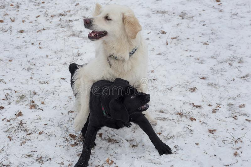 Cute golden retriever and labrador retriever puppy are playing on a white snow in the winter park. Pet animals stock photo